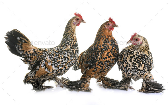 Booted Bantam in studio - Stock Photo - Images