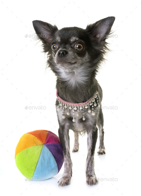 young chihuahua in studio - Stock Photo - Images