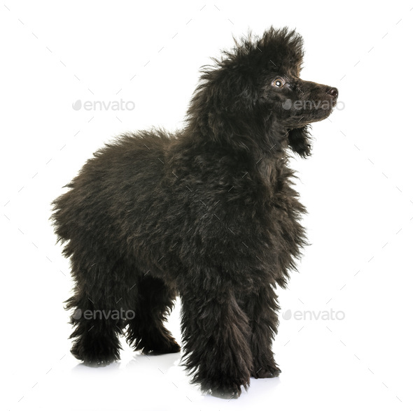 puppy brown poodle - Stock Photo - Images