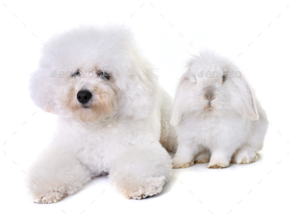 bichon frise and bunny - Stock Photo - Images