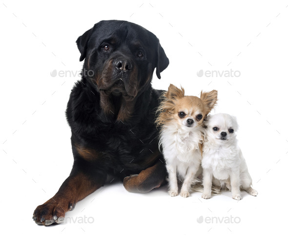 dogs in studio - Stock Photo - Images
