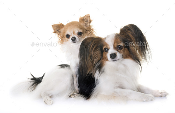 papillon dog and chihuahua - Stock Photo - Images