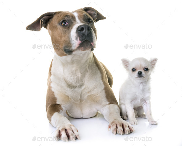 american staffordshire terrier and puppy - Stock Photo - Images