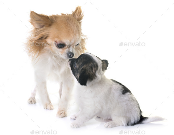 puppy and adult chihuahua in studio - Stock Photo - Images
