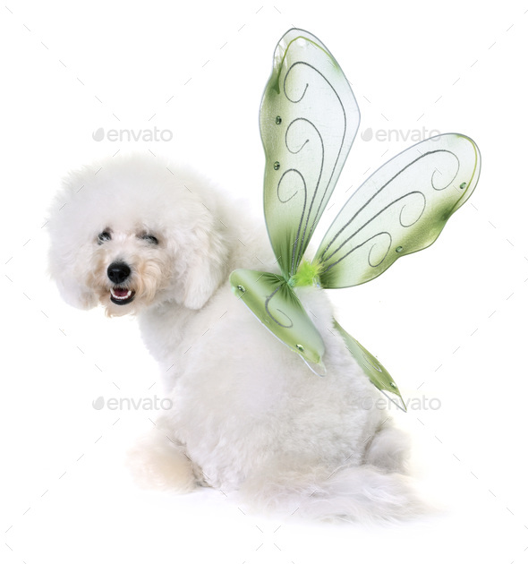 bichon frise and wings - Stock Photo - Images