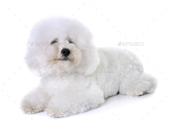 bichon frise in studio - Stock Photo - Images