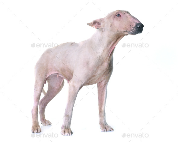 thin bull terrier - Stock Photo - Images