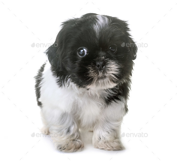 puppy shih tzu in studio - Stock Photo - Images