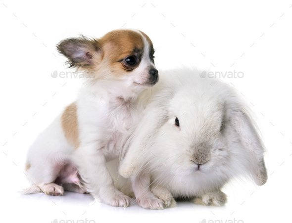 puppy chihuahua and rabbit - Stock Photo - Images