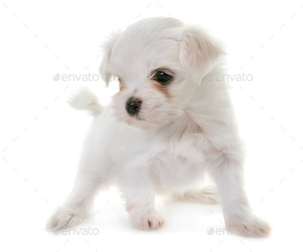puppy maltese dog - Stock Photo - Images