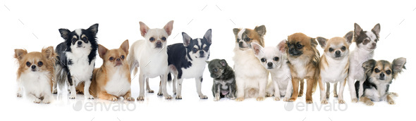 group of chihuahua in studio - Stock Photo - Images