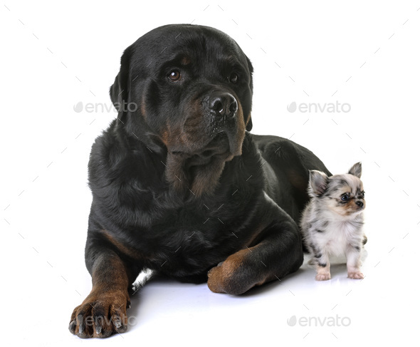 puppy chihuahua and rottweiler - Stock Photo - Images