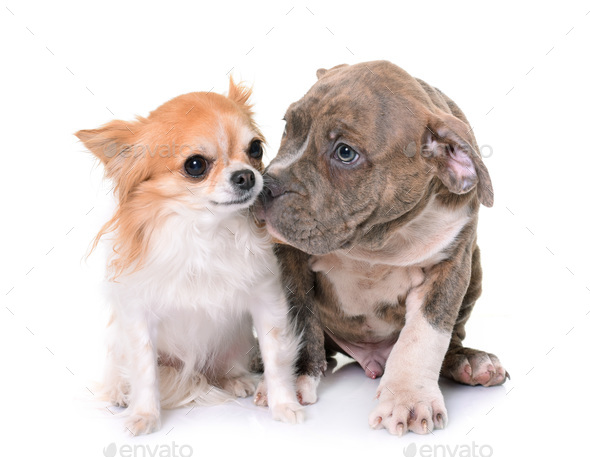 puppy american staffordshire terrier and chihuahua - Stock Photo - Images