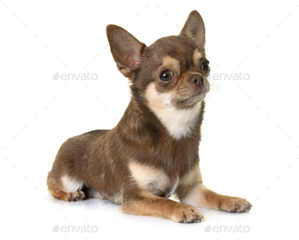 brown chihuahua in studio - Stock Photo - Images