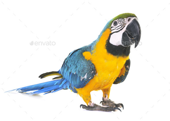 Blue-and-yellow macaw in studio - Stock Photo - Images
