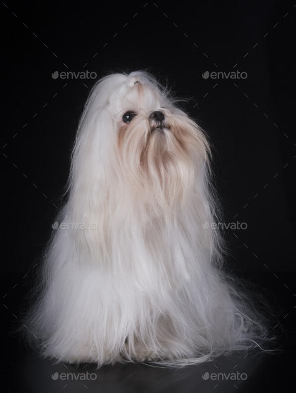 maltese dog in studio - Stock Photo - Images