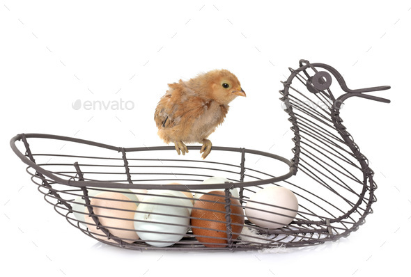 chick and eggs - Stock Photo - Images
