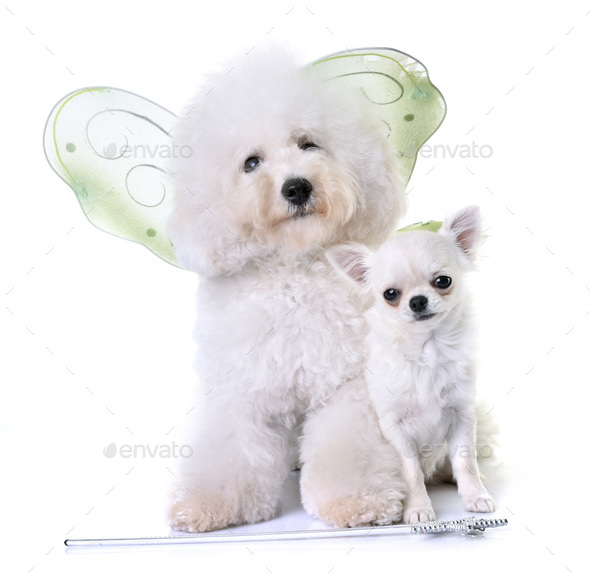 bichon frise and chihuahua - Stock Photo - Images