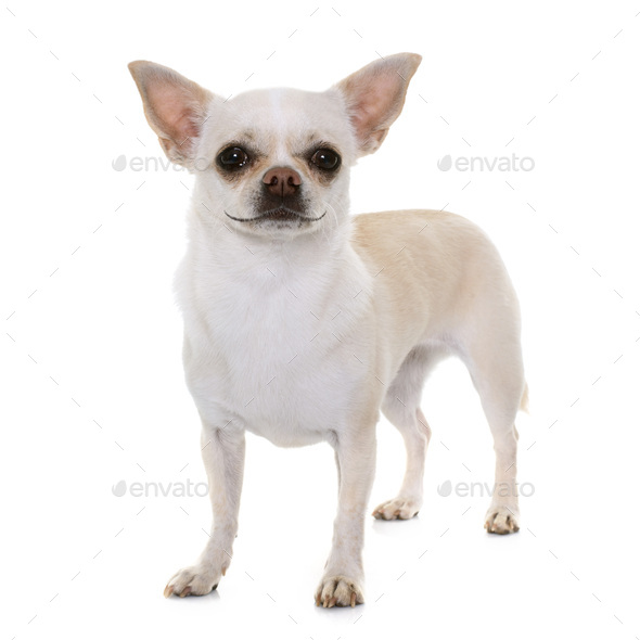 smiling chihuahua in studio - Stock Photo - Images