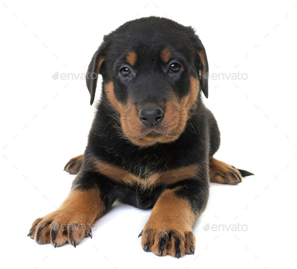 puppy beauceron in studio - Stock Photo - Images