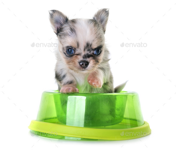 puppy chihuahua eating - Stock Photo - Images