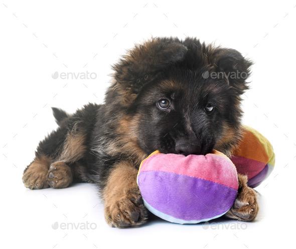 puppy german shepherd - Stock Photo - Images