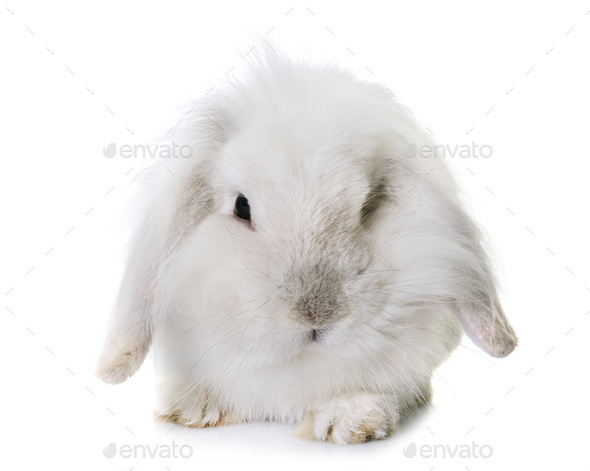 aries rabbit in studio - Stock Photo - Images