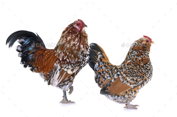 Barbu d'Anvers chicken and rooster - Stock Photo - Images