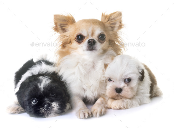 puppies shih tzu and chihuahua - Stock Photo - Images