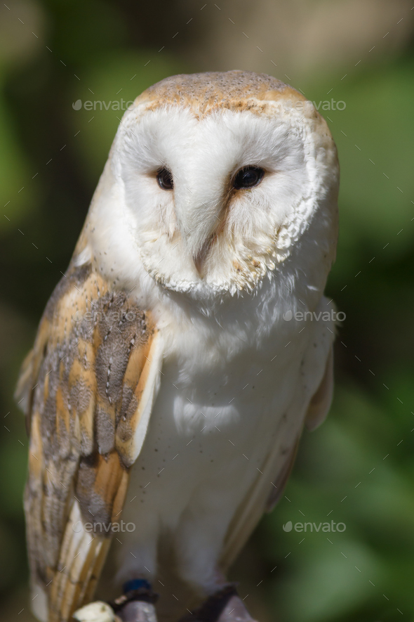 Western Barn Owl - Stock Photo - Images