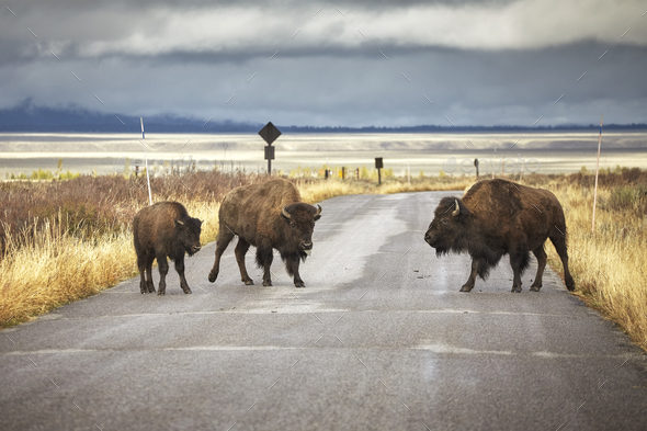 American bison family cross a road, Wyoming, USA. - Stock Photo - Images