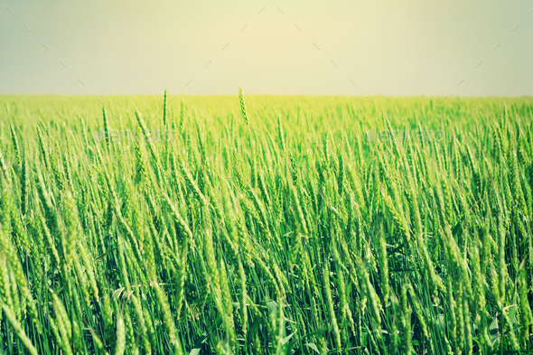 Green wheat field blue sky - Stock Photo - Images