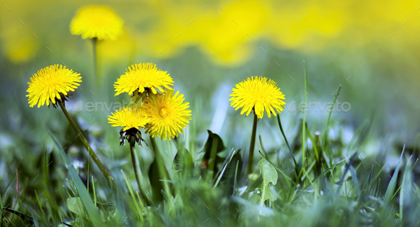 Life coaching concept - yellow dandelions - Stock Photo - Images
