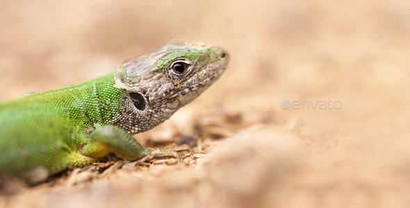 Close-up of a green lizard - Stock Photo - Images