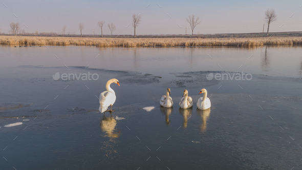 white swan in winter - Stock Photo - Images