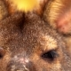 Eyes Wallaby Looking Straight Into the Camera - VideoHive Item for Sale