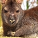 The Lying Wallaby Sleeps and Covers the Eyes - VideoHive Item for Sale