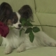 Dog Papillon Keeps Red Rose in His Mouth in Love on Valentines Day - VideoHive Item for Sale