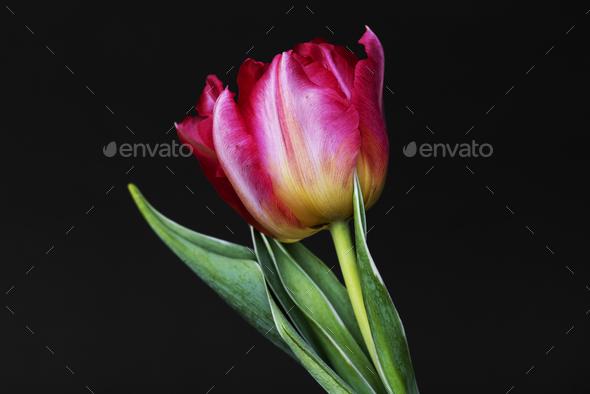 Closeup of pink tulip - Stock Photo - Images