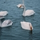 Swans Swim on a Lake or River in Winter. Snowing. Getting Ready To Fly Away - VideoHive Item for Sale