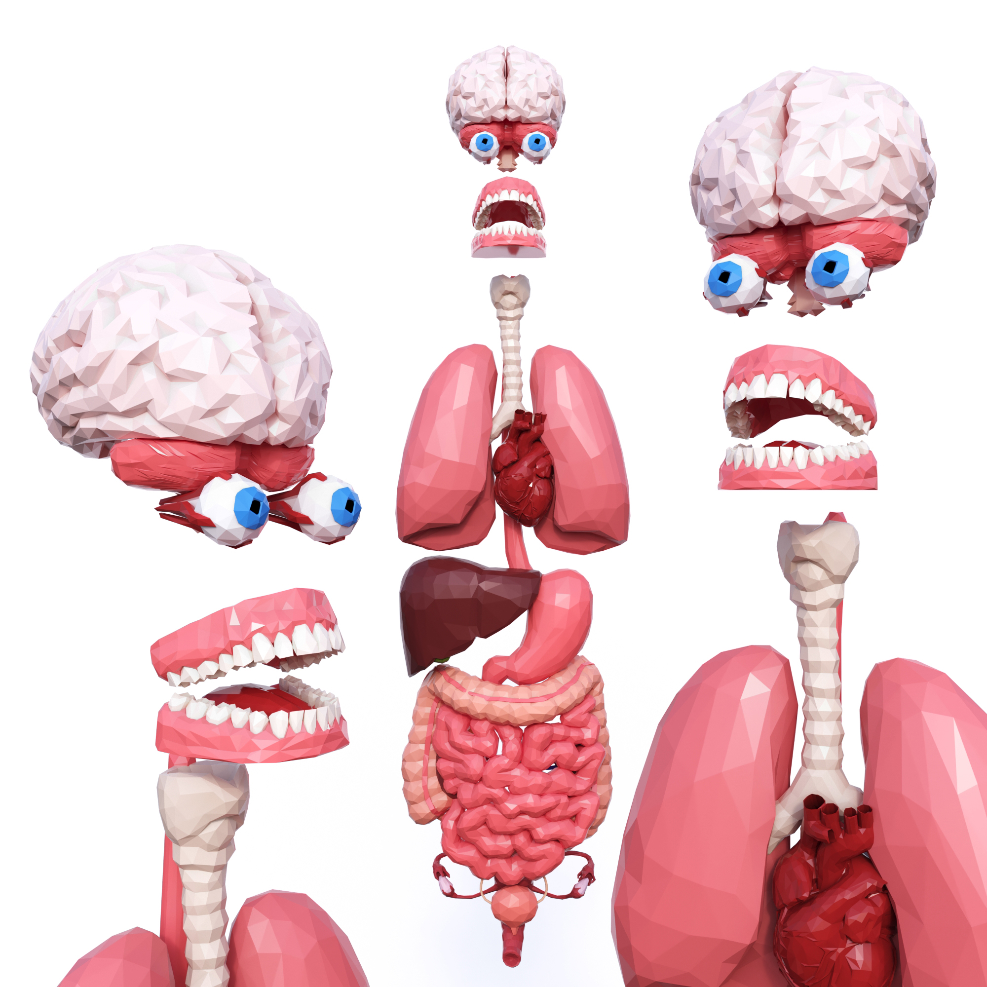 Internal Organs Low Poly