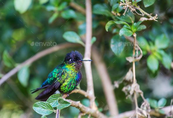 Kolibri - Stock Photo - Images