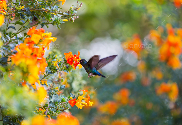 Kolibri - Stock Photo - Images