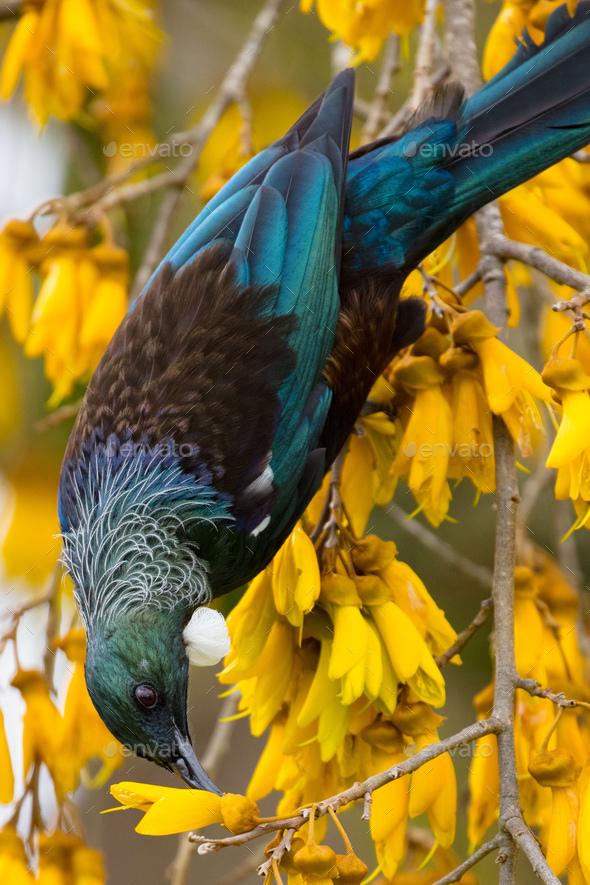 Tui Bird in New Zealand - Stock Photo - Images