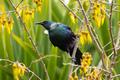 Tui Bird in New Zealand - PhotoDune Item for Sale