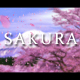 Classic Sakura Cherry Blossom - VideoHive Item for Sale
