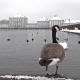 Wild Goose in Front of Castle Nymphenburg Palace in Winter with Snow - VideoHive Item for Sale