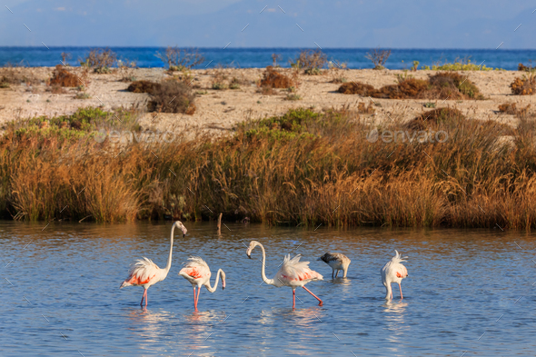 pink flamingos walking through the water - Stock Photo - Images