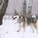 Young Siberian Husky Dog Running Outdoor In Winter Snowy Forest - VideoHive Item for Sale