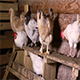 Chickens in The Chicken Coop - VideoHive Item for Sale